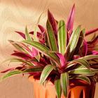 Уход за цветком рео в домашних условиях