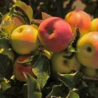 Подкормка яблонь летом