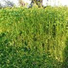 Какие сидераты лучше всего сеять в огороде и теплице весной