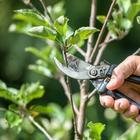Основные ошибки при обрезке плодовых деревьев