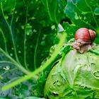 5 эффективных препаратов против слизней на капусте