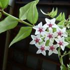 Цветок хойя фото уход в домашних условиях