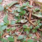 Сорняк портулак огородный