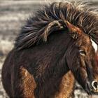 Дикие лошади Исландии невероятной красоты