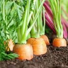 4 фактора скорости всхода моркови