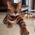 Бенгальский кот с самой красивой шерстью