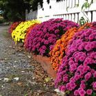 Особенности выращивания и размножения хризантемы кустовой (садовой)
