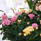 Роза комнатная: что нужно знать начинающему цветоводу?