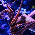 Удивительные факты об осьминогах, которые вы не знали