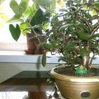 Денежное дерево (толстянка): как ухаживать в домашних условиях