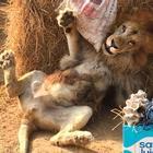 Подарок для спасенного льва