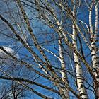 Голые ветви берёзы