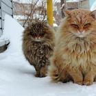 Как живет Котоляндия: Сибирские коты покорили Интернет