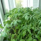 6 самых популярных ошибок при выращивании томатов