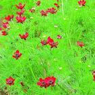 15 однолетников с красными цветками - яркие краски в вашем саду