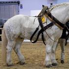 Тяжеловозы - самые большие и сильные лошади