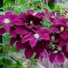 Выращивание клематисов: правильный уход, посадка и размножение