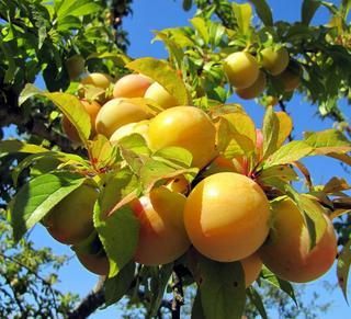 Абрикос Ульянихинский – ароматная сладость вашего сада