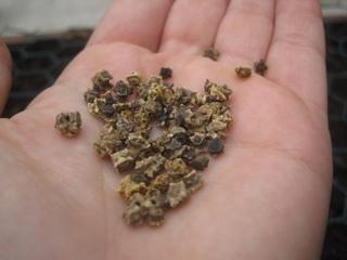 Технология посадки свеклы семенами в открытый грунт