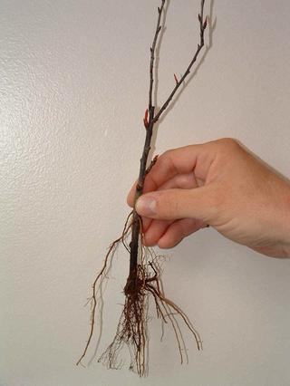 Как вырастить вишню и сливу из зеленых черенков