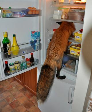 Домашние лисички