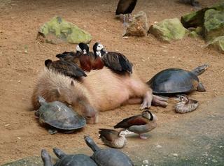 Капибары и их друзья