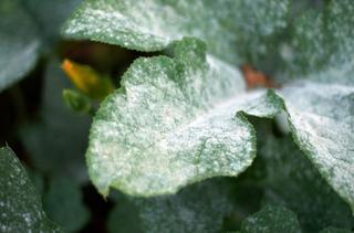 Гниль огурцов в теплице: причины и способы борьбы
