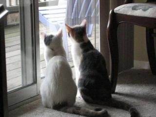 Кошки-синхронистки
