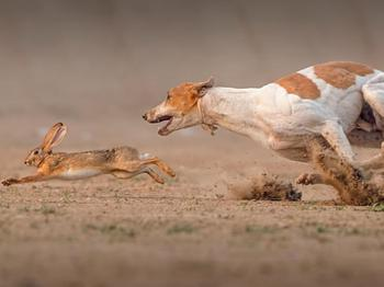 Как проводится охота с гончими на зайца русака?