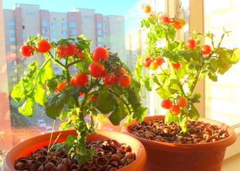 Особенности выращивания помидоров на подоконнике: от выбора сорта до сбора урожая