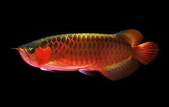 Самая дорогая рыба в мире – от морских деликатесов до декоративных экземпляров