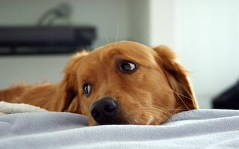 Собачья ревность: мнение учёных