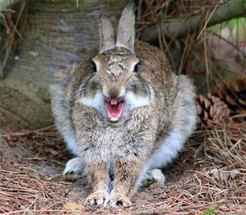 Зевающие кролики — зрелище не для слабонервных
