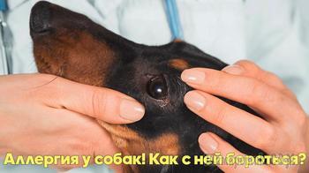 Аллергия у собак - симптомы, признаки, лечение. Советы ветеринарного врача.