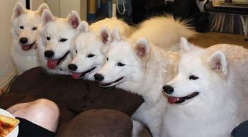 Эти собаки так трогательно выпрашивают еду, что им невозможно отказать