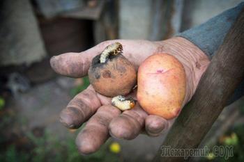 Май = майские жуки? Как избавиться от вредителя