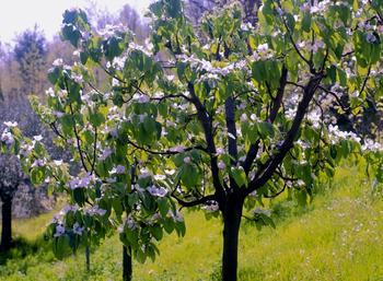 Айва обыкновенная: выращивание и уход