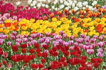 Парад тюльпанов в Никитском саду Крыма 2021