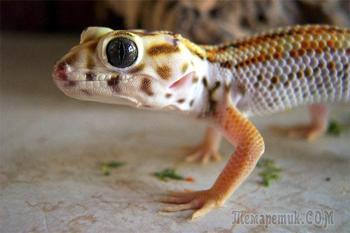 Уход за ящерицами в домашних условиях: как содержать и кормить холоднокровных питомцев