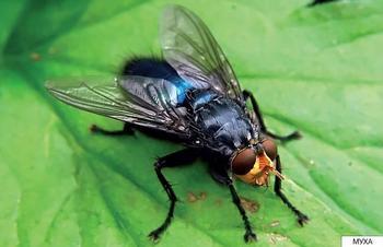 Сколько ног у мухи?