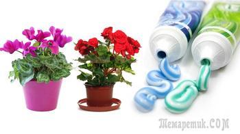 Необычная подкормка для комнатных цветов - зубная паста
