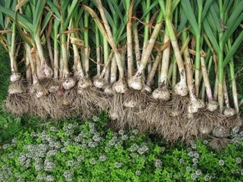 Как вырастить хороший урожай чеснока?