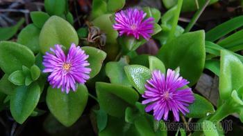 Аптения сердцелистная: оптимальные условия выращивания и уход в вашем доме