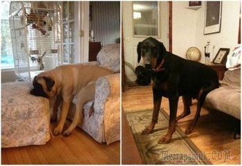 20 законопослушных собак, которые поняли правила по-своему