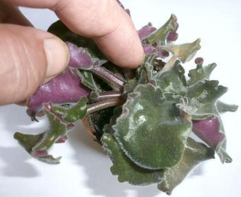 Как размножить фиалку (сенполию) листом