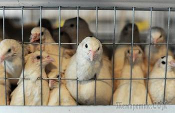 Россия расширила запрет на ввоз птицы и яиц из двух стран ЕС