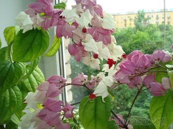 Почему не цветет клеродендрум — уход в домашних условиях
