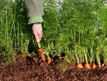 Как посеять морковь под зиму