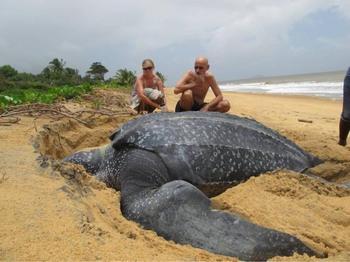 Во Флориде нашли самую большую черепаху в мире