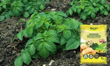 Правильные удобрения для картофеля: чем и как подкормить при посадке в лунку и после всходов